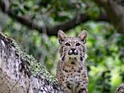 Bobcat. Toro Park 5/16/18