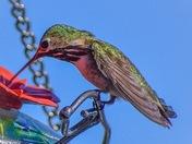 Hummingbird in the Okanagan
