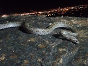 Kansas glossy snake on the boulder with the city lights in the background