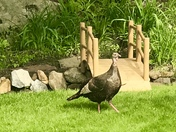 """""""TOM"""" comes for visit in my Gilford backyard!"""