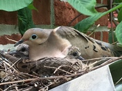 Morning dove nesting with its 2 babies on top of our gas fireplace vent.
