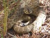 Angry footlong prarie rattlesnake
