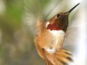 selasphorus rufous