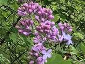 Lilac in my backyard