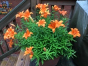 "This is my tiger lily and it's shining like the ""tigers"" always do."