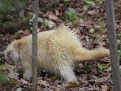 Albino porcupine spotted in Sunapee thursday afternoon