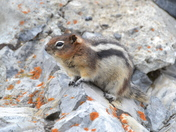 Golden Mantled Ground Squirrell