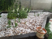 Hollyhocks and hail.