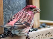 Purple Finch/Hummingbird