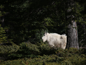 Mountain Goat in the Woods