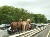 Horses loose on Route 2 in Acton