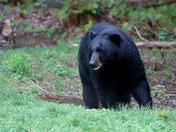 Bear in my backyard - Littleton, NH