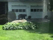 Bear in Merrimack on Cabot Rd