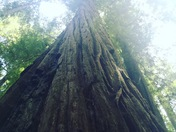 Redwood National Forrest