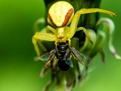 Yellow crab spider at work