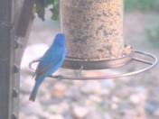 Blue Bird take at Maxwell, IA