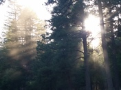 Sunlight through the pine trees