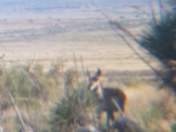 Pronghorn antelope grazing on the Plains