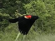 Red Winged Black Bird at Lake Onway Raymond NH