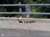 11 little ducklings crossing the bridge over the Carmel river by Hacienda Carmel