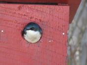 Tree Swallow in birdhouse