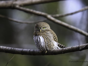 Northern Pygmy Owl Taking in the Setting Sun