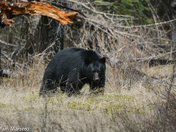 Black bear in a meadow at Banff National Park