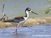 Black-necked Stilt, a rare southern Ontario visitor