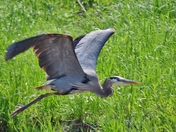 Blue Heron in flight.
