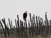 Our National Bird ~ The Bald Eagle