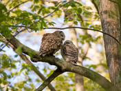 Momma Barred Owl and Owlet