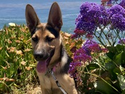 Layla the German Shepherd Puppy.