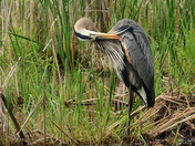 great blue heron grooming