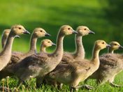 RG_432 | Canadian Geese