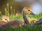 RG_435 | Canadian Geese