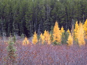 Fall Tamaracks in Northern Ontario