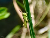 The Little Green Grasshopper