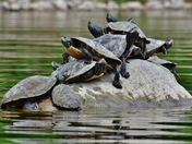 Not so much space left! Painted turtles.