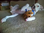 Matt's Boxer Pup- Sammie Jo...