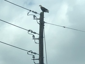 Spotted a bald eagle on Koser Road in Manheim Township!