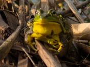 Bullfrog (male)