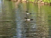 A pair of Loons