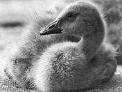 RG_439BW | Canadian Goose