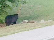 Bear sighting in Newmarket New Hampshire