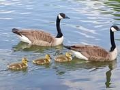 Three goslings