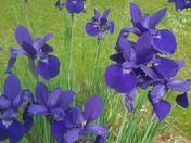 Dutch Irises
