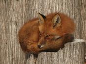 Red Fox on Stump