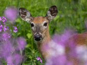 White Tailed Deer looking pretty in the Wild Phlox
