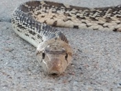 Moved this 3 foot bull snake out of the street