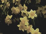 Painterly Daffodils